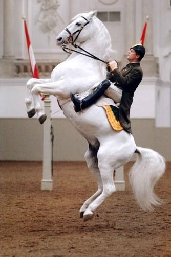 lipizzaner stallion vienna